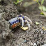 Krabbinvasion och smuggling av hotad djurart